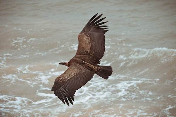 how to stop cape vultures becoming endangered